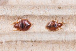 picture of two bed bugs to help identify a bed bug problem
