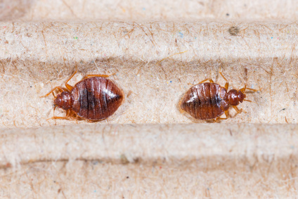 beg bugs and bed bug bites