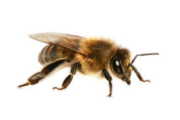 bumble and honey bee stings