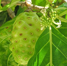 big and small noni fruit