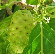 big and small noni fruit