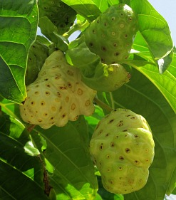 noni fruit on a noni fruit tree
