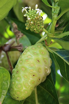 noni fruit and flowering noni on tree