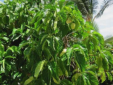noni fruit tree with plenty of ripening fruit