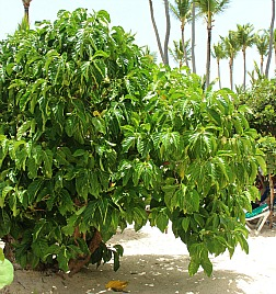 noni fruit tree in the Dominican Republic