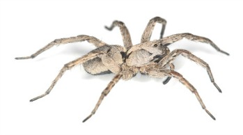 Wolf spiders are found throughout Australia and in the United States.