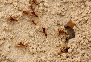 fire ant bites or stings are very painful