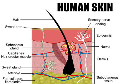 schmatic diagram of the structure of human skin