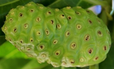 close up of noni fruit on tree
