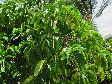 noni fruit tree with plenty of ripening fruit