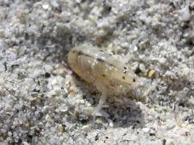sand flea bites on the beach