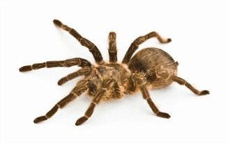 The tarantula is a large hairy spiders and the hairs are like sharp bristles.